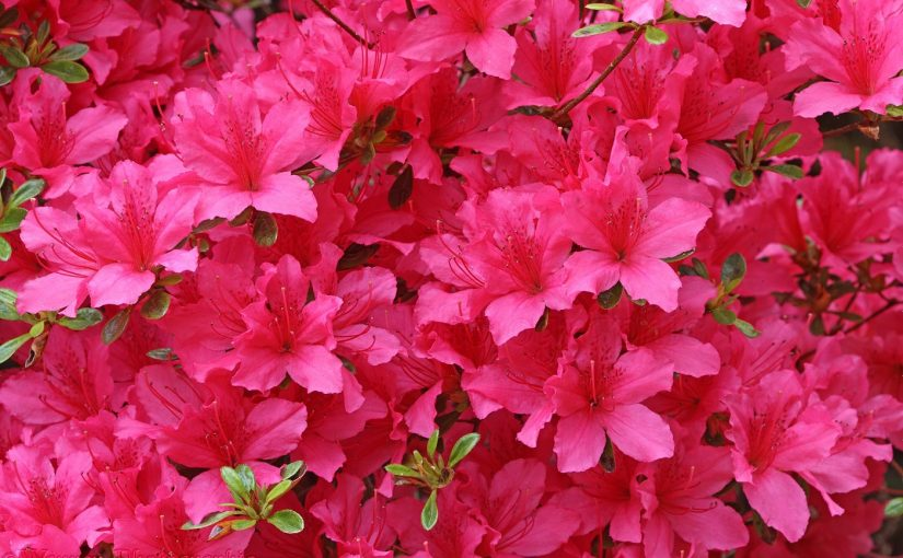 Dream meaning of Azalea Flower