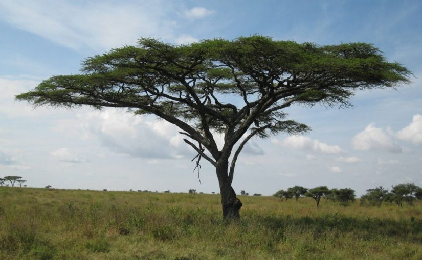 Dream Meaning of Acacia