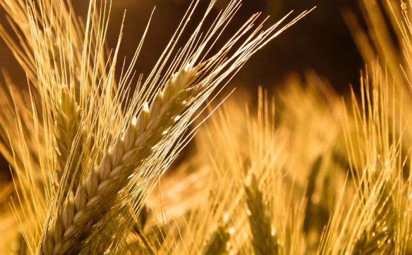 Dream Meaning of Barley
