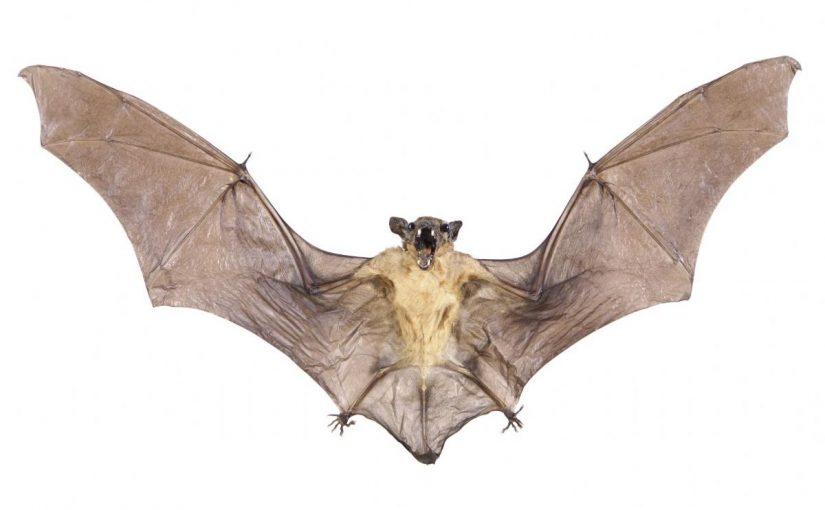 Dream Meaning Of Bat Dream Interpretation