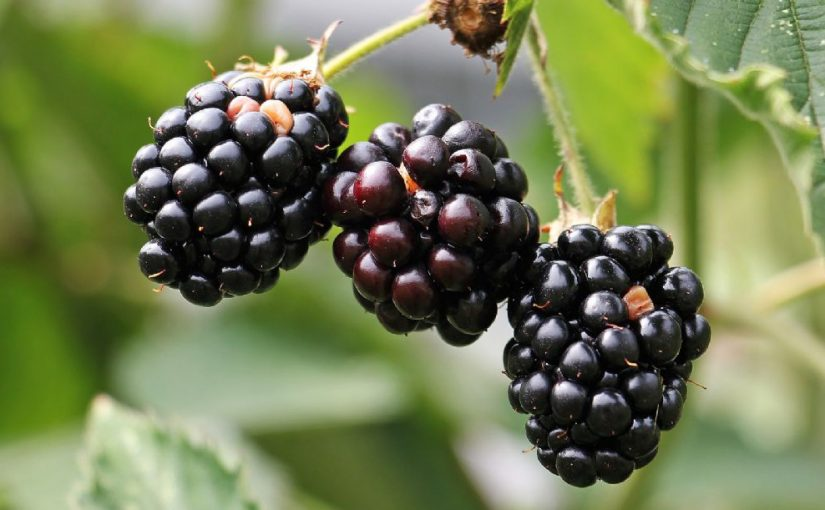 Dream Meaning of Blackberries