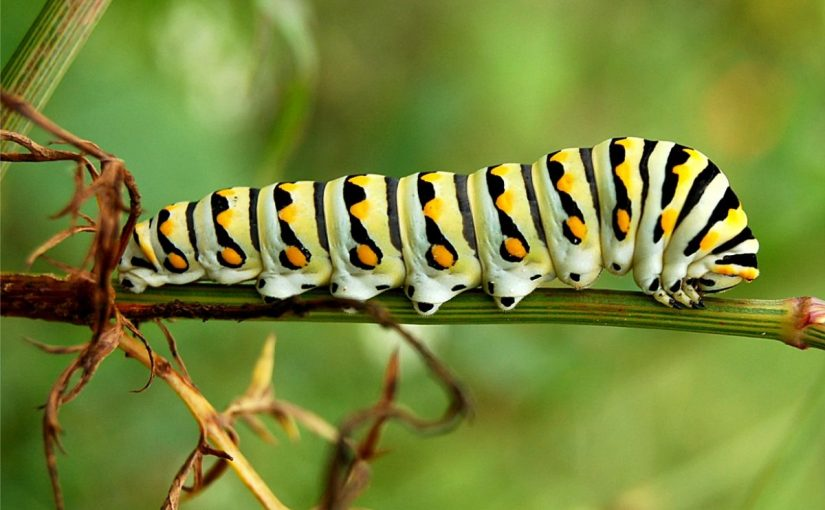 Dream Meaning of Caterpillar