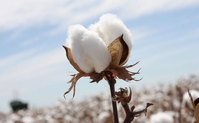 Dream Meaning of Cotton