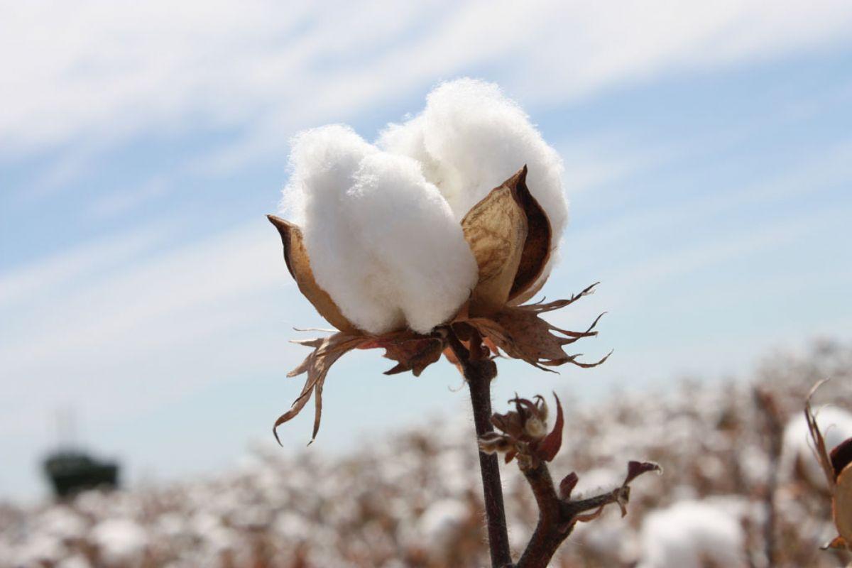 Dream Meaning Of Cotton Dream Interpretation