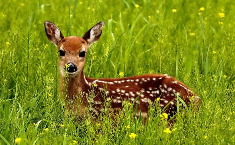 Dream Meaning of Deer