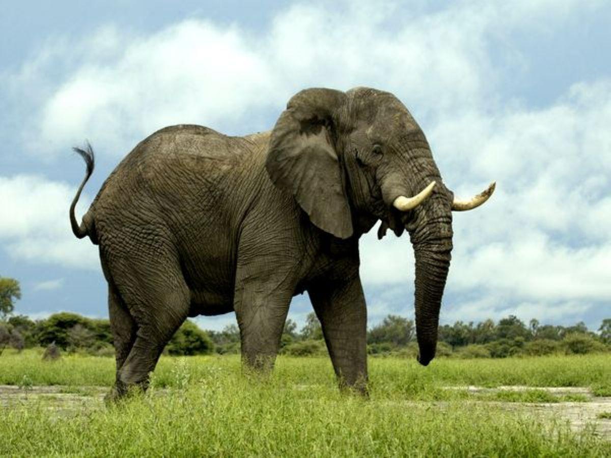 Interpretation of dreams. What does elephants dream about