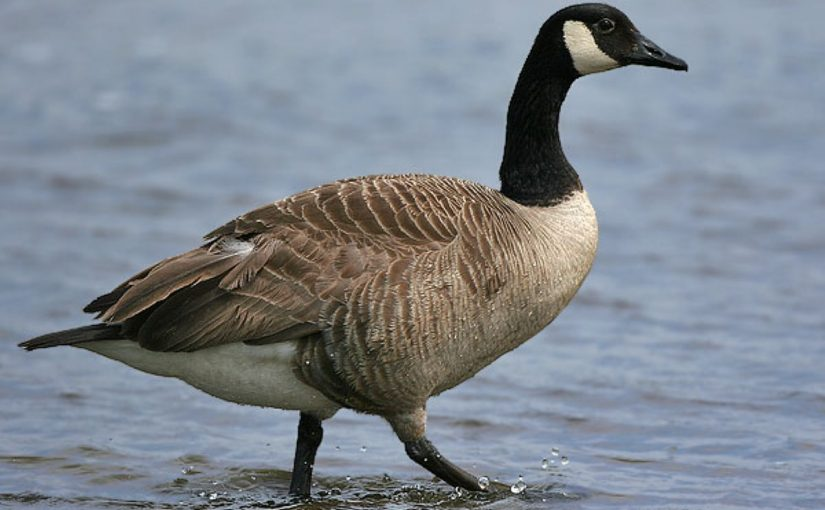 Dream Meaning of Goose