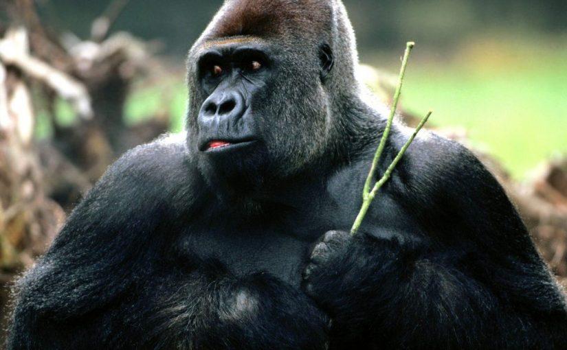 Dream Meaning of Gorilla