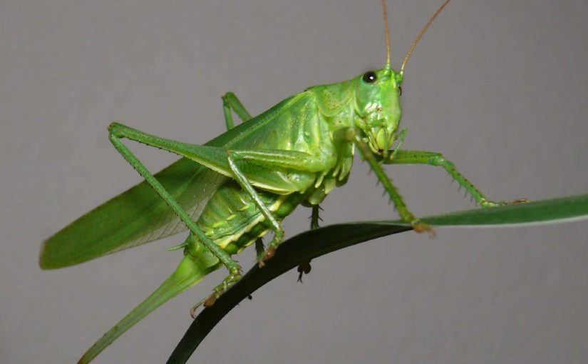 Dream Meaning of Grasshopper