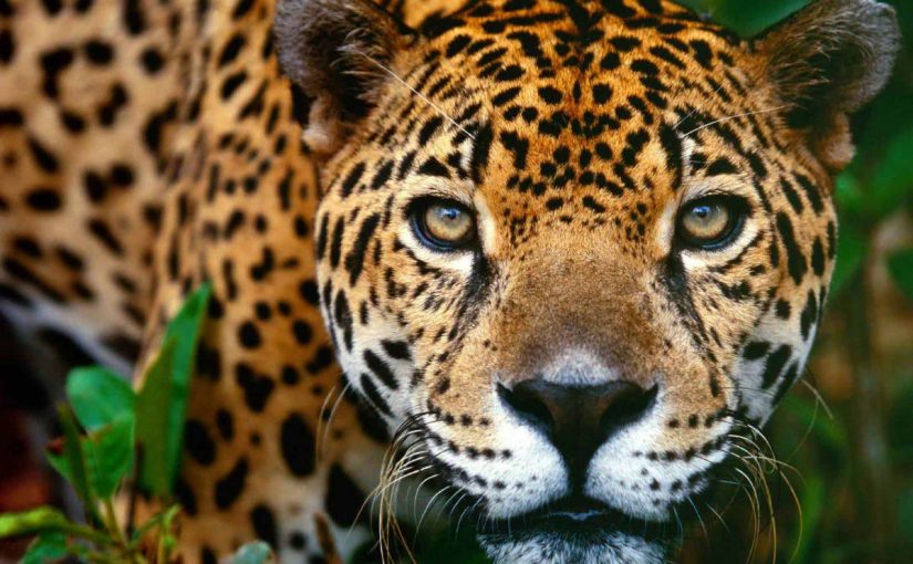 Dream Meaning of Jaguar