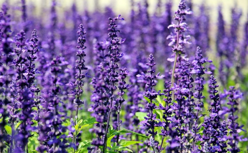 Dream Meaning of Lavender