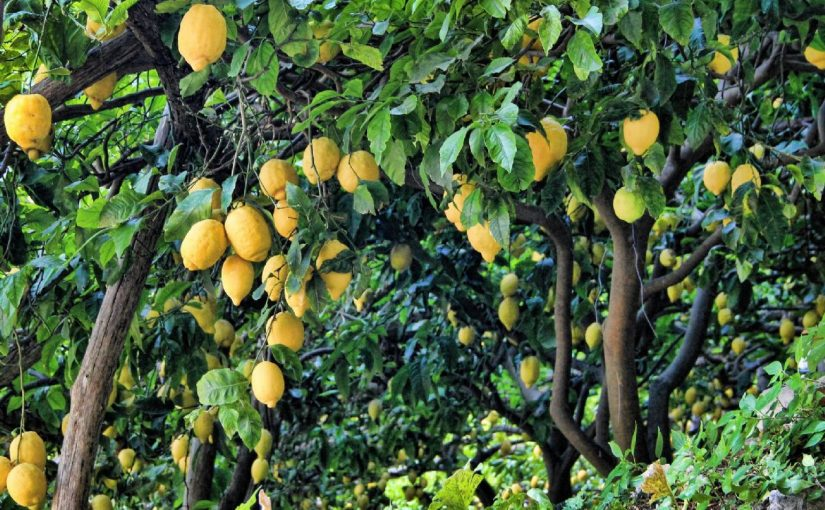 Dream Meaning Of Lemon Tree