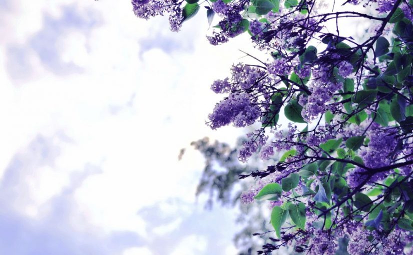 Dream Meaning Of Lilac
