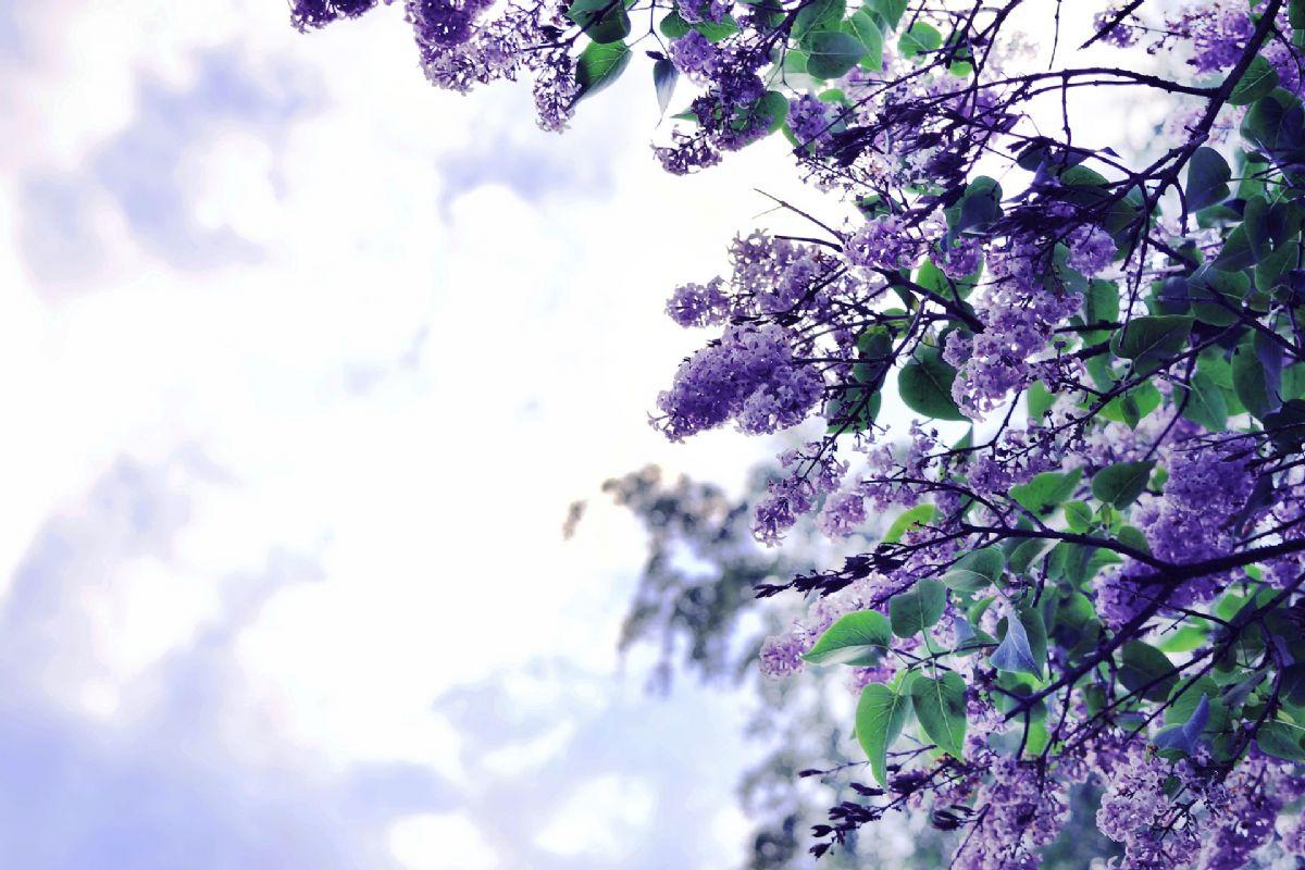 Dream Meaning Of Lilac Dream Interpretation