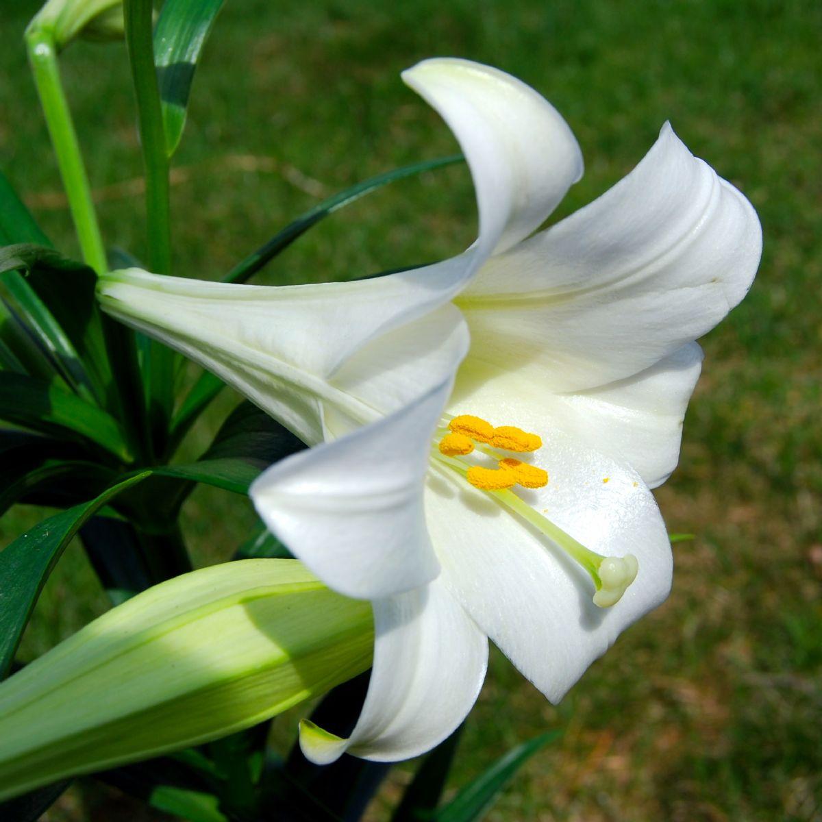 Dream Meaning Of Lily Dream Interpretation