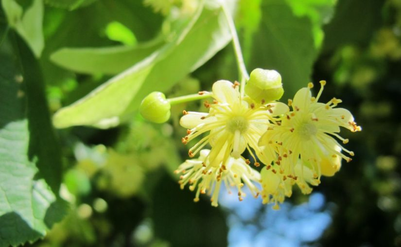 Dream Meaning of Linden Flower