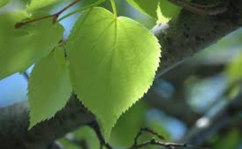 Dream Meaning of Linden Leaf