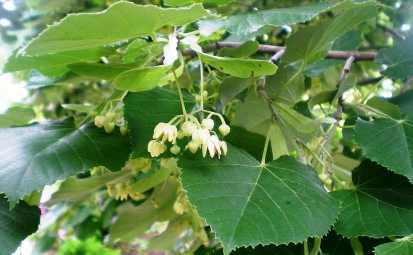 Dream Meaning of Linden Tree