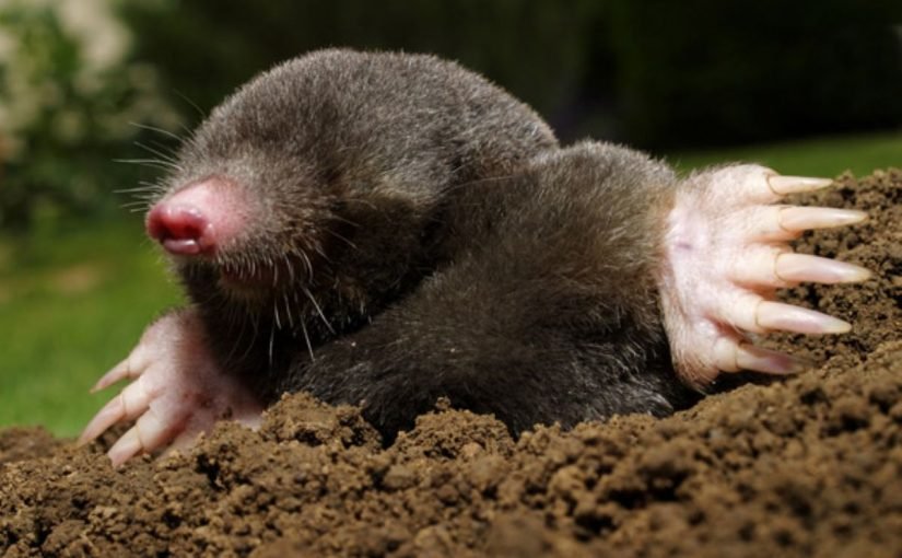 Dream Meaning of Mole