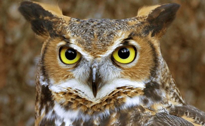 Dream Meaning Of Owl Dream Interpretation