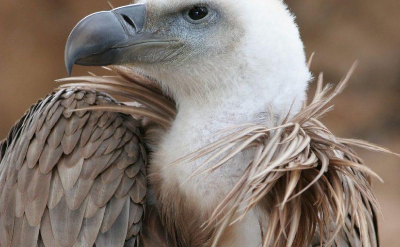 Dream Meaning of Vulture - Dream Interpretation
