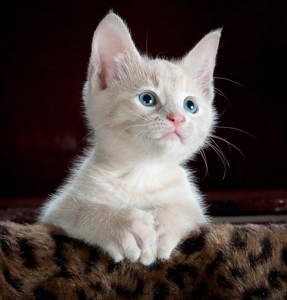 Dream Meaning of Cats - Dream Interpretation