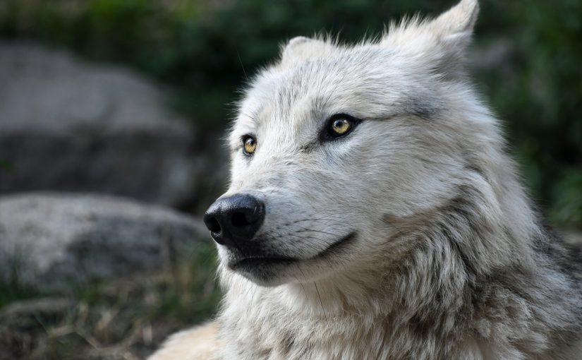 Dream Meaning of Wolf - Dream Interpretation