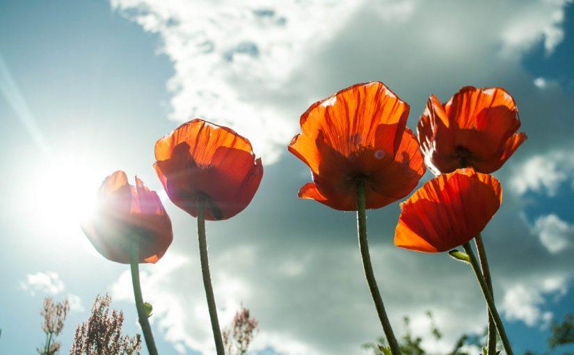 Dream Meaning of Poppy