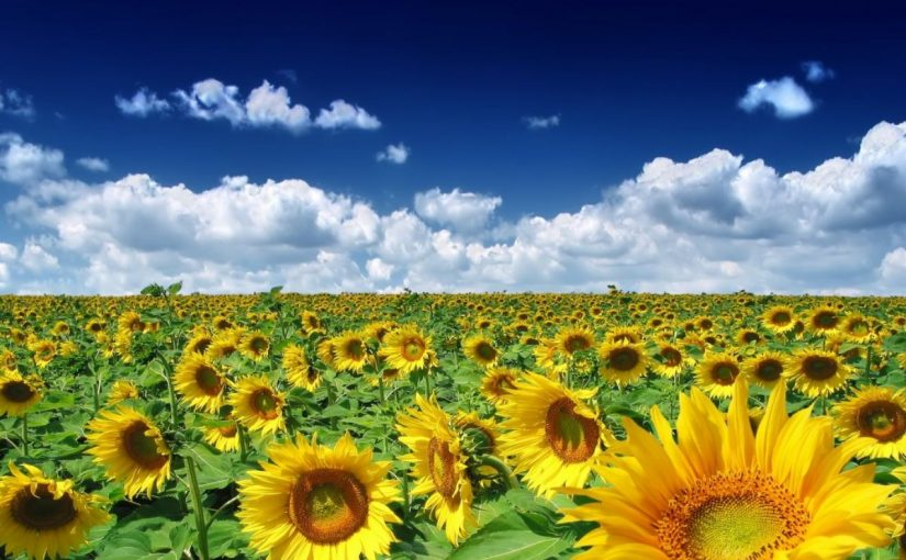 Dream Meaning of Sunflower