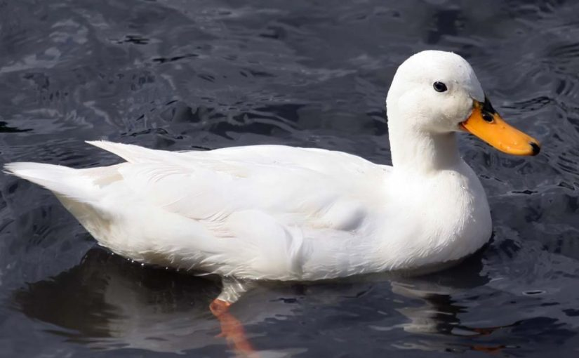 Dream Meaning of Duck